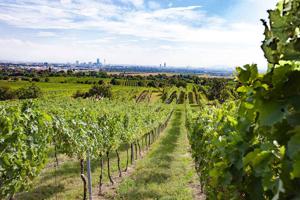 Weingarten mit Blick auf Wien