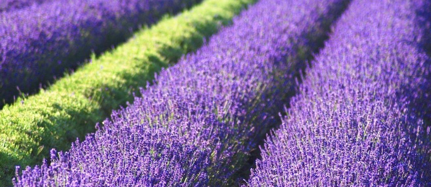 Bio Lavendelfeld im 22. Bezirk