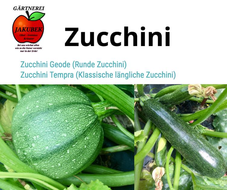 Zucchini Gärtnerei Jakubek