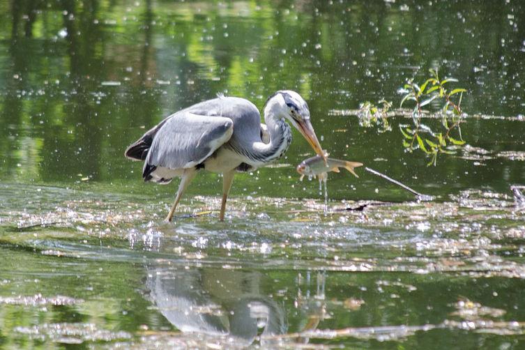 Graureiher mit Fisch im Schnabel im Unteren Heustadlwasser im Prater