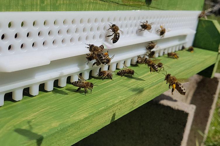 Bienen vor ihrer Bienenbehausung