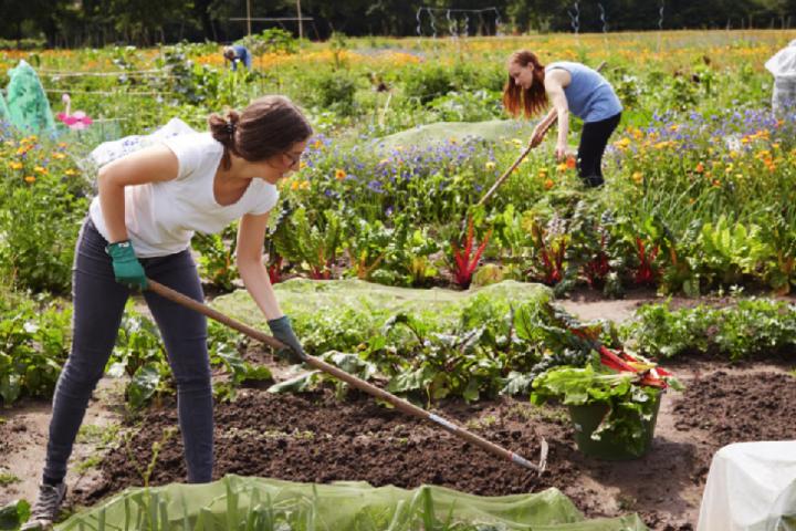 Deshalb kannst Du bei den Ackerhelden biozertifizierte, mit verschiedenen Gemüsesorten vorbepflanzte Ackerstücke mieten, auf denen Du zwischen Mitte Mai und Ende November frisches Biogemüse ernten, neu säen, pflanzen und mit den eigenen Händen ackern kannst.